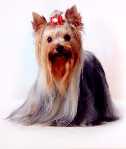 L'Arcobaleno di Luci - Transfer Stampa Maglietta T-Shirt Felpa Cuscino Cane Cani Yorkshire Dog Dogs L' Arcobaleno di Luce 320778295446