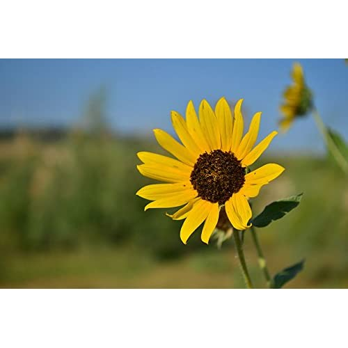 50 Wild Sunflower Seed Bombs - Bulk Seed Balls for Seed Bombing (Helianthus annuus)