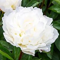 1x Rizoma Peonias Plantas de exterior Peonias bulbos Plantas decorativas exterior Peonia Amalia Olson