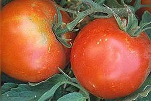 Tropic VFN Tomato Seed