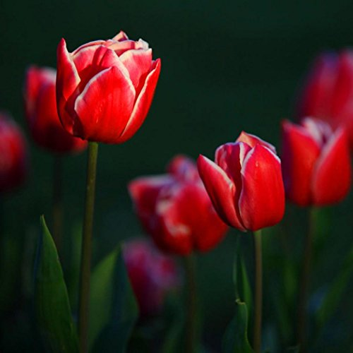 20 Pcs Red Tulip Bulbs Not Tulip Seeds 19 colors Available Tulips Variety Fresh Bulbous Root Flower Corms (Red Tulip)