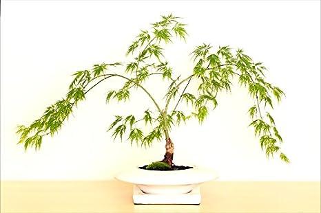50 érable japonais bonsaï arbre Graines mini-bonsaï pour ...
