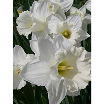 Germination Seeds: 12 Daffodil Bulbs~Narcissus Trumpet Mount Hood~White(Pack of 12 Bulbs) Perennial
