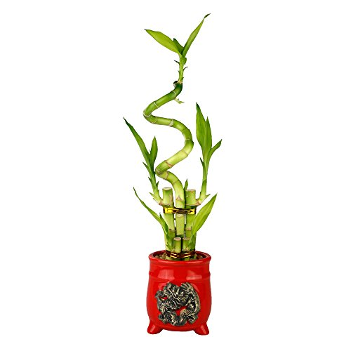 Lucky Bamboo Five Stalk with Spiral Arrangement with Red Ceramic Dragon Design Standing Planter by NW Wholesaler