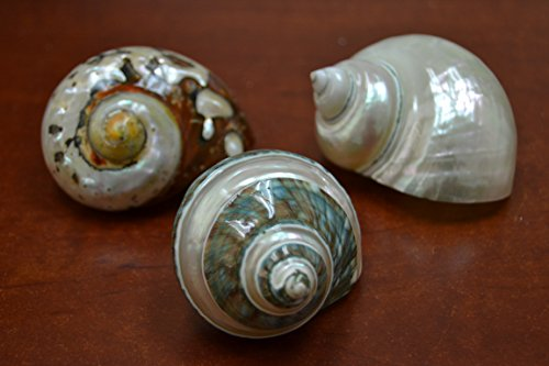 (3 Pcs Assort Pearl and Banded Jade Turbo Shell Hermit Crab 2 1/2