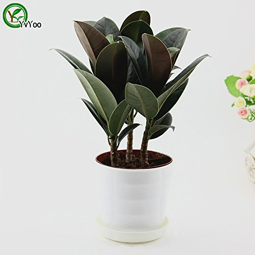 Rubber tree Seeds Chinese Bonsai Tree Seeds This is 100% True Seed 1 pcs t023 SVI