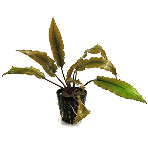 SubstrateSource Cryptocoryne becketii 'Petchii' Live Aquatic Aquarium Plant
