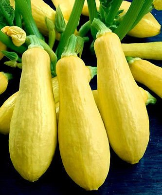 "35+ Vegetable Garden Seeds - Summer Squash - ""Early Prolific Straightneck"" Best"