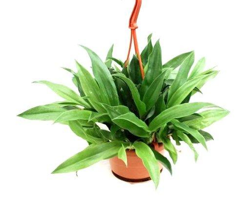 1 blühfähige Orchidee der Sorte: Promeneae Hybride, 12cm Topf