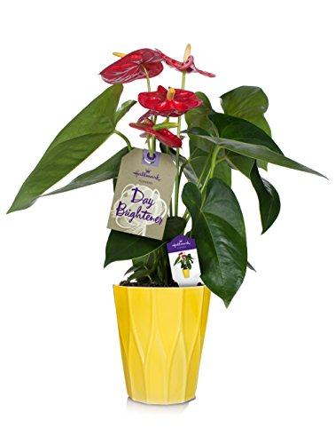 Hallmark Flowers Happy Hearts Red Anthurium in 5-Inch Yellow Ceramic Container