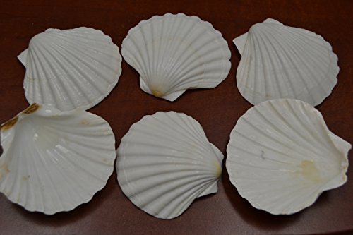 Deep Seashell (6 Pcs Assort White Deep Irish Pectin Sea Shell Beach Decor 3 1/2