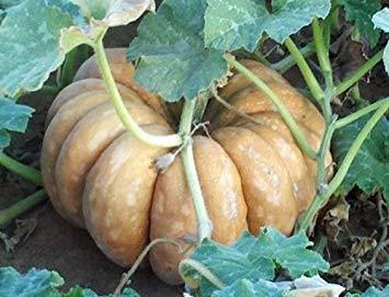 (vegherb 25 Seeds of Fairytale Pumpkin Seeds Garden Seeds )