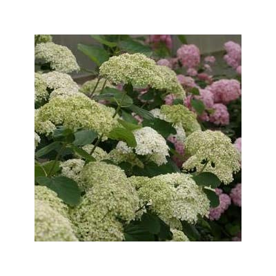 Hydrangea-Lime-Rickey - QT Pot (Shrub) : Garden & Outdoor