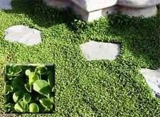 Dichondra Seed (Dichondra Repens) Ground Cover,1 lb of seed per 500 square feet. (5 lbs)