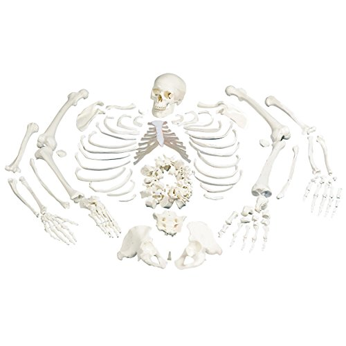 3B Scientific A05/1 Disarticulated Full Human Skeleton with 3 Part Skull, 19.1
