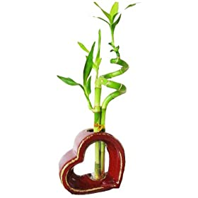 Set of 2 Live Spiral 3 Style Lucky Bamboo Plant