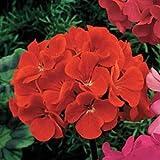 Outsidepride Geranium Scarlet - 25 Seeds