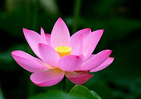 Lotus Flower POSTER Pink Print A4 - A3 Wall Art Picture Photo Nature Decor Home Decal (Strong Black Woman Murals)