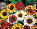 Painted Daisy Seeds- 500+ Seeds