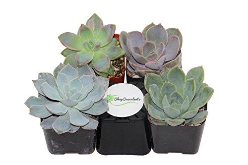 Shop Succulents Rosette Succulent Collection product image