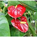 """Jmbamboo - Summer Special - Hawaiian Red Anthurium Plant 8 - 10 Inches in a 4"""" Pot by jmbamboon"""