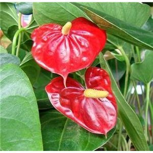 """Jmbamboo - Summer Special - Hawaiian Red Anthurium Plant 8 - 10 Inches in a 4"""" Pot"""