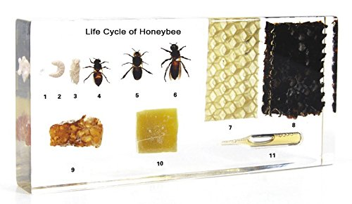 Amazingbug Lifecycle of a Honey Bee Science Classroom Specimens for Science Education