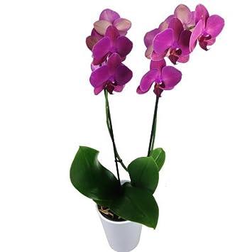orchidee 7 triebe