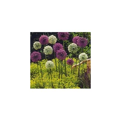 100 Pcs / Bag, Allium Seeds, Potted Seed, Flower Seed, Variety Complete, the Budding Rate 95%, (Mixed Colors) : Garden & Outdoor