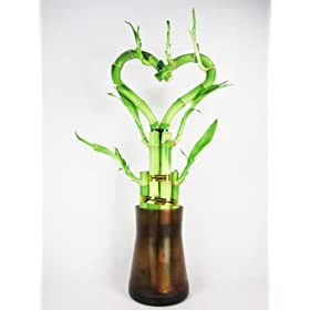 Live Heart Shape 6 Style Lucky Bamboo Plant Arrangement