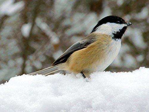Algonquin Winter Wonderland ()
