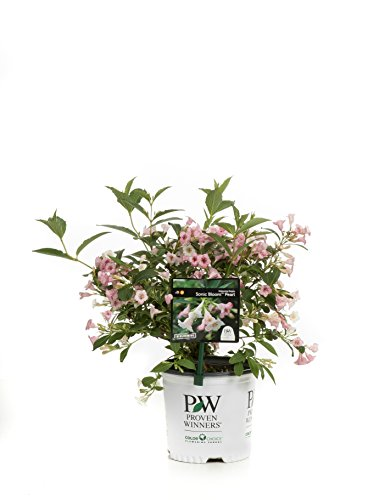 Sonic Bloom Pearl Reblooming Weigela (Florida) Live Shrub, White and Pink Flowers, 1 Gallon by Proven Winners