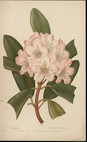 rose-bay-rhododendron-maximum-1875-lovely-color-floral-print
