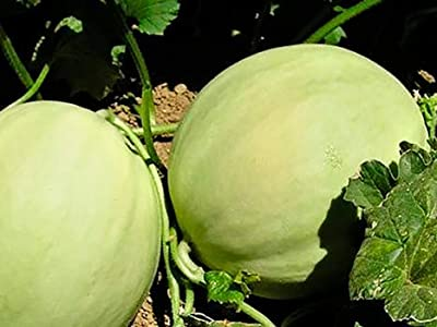 Seeds Honeydew Melon Get 25 Seeds #TSP01NS