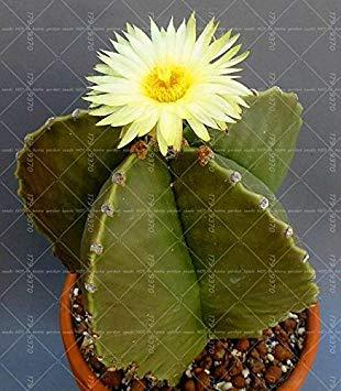 Topfpflanze Blumensamen Verhindern Fã¼r Samen Strahlung Feigenkaktus Bonsai Sukkulenten Reinigen Lady Fash Wahre Hausgarten 10 Luft Die Stã¼cke 100 Kaktus qBwznaAvx