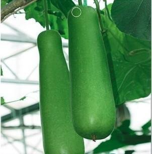 - SD0642 Green Med-long Bottle Gourd Seeds, Organic Seeds, 60-Days Money Back Guarantee (6 Seeds)