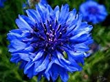 The Dirty Gardener Centaurea Montana Cornflower Bachelors Button Flowers - 1,000 Seeds