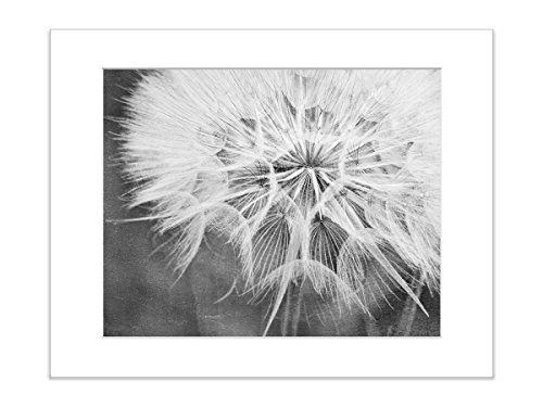 8x10 Inch Matted Print Black and White Dandelion Botanical Nature Flower (White Flower Photograph)
