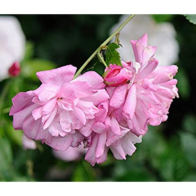 1 Plant Old Blush Lilac Pink Rose 3 Gallon Plant Roses Bush Shrubs Outdoor Gardening tktreas : Garden & Outdoor