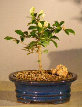 Bonsai Boy's Flowering Lavender Star Flower Bonsai Tree - Small Grewia Occidentalis by Bonsai Boy