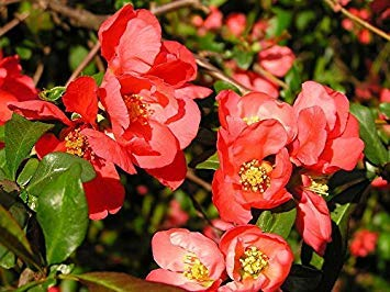 (vegherb New Red Flowering Dwarf Quince Shrub Fruit Chaenomeles Japonica Scarlet 20+ Seeds)