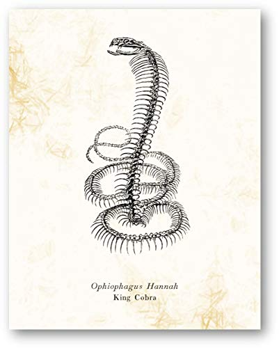 Ophiophagus Hannah King Cobra Animal Skeleton Vintage Drawing - Living Room, Office, Bedroom Decor - Cabin Artwork - 11 x 14 Unframed Print - Great Gift for Snake Lovers, Zoologists, Biologists