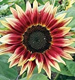 Just Seed - Flower - Sunflower - Ruby Eclipse - 10 Seeds