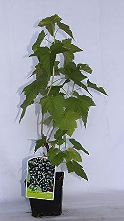 Grosella negra o Casis Arbusto frutal vivo maceta 2 litros