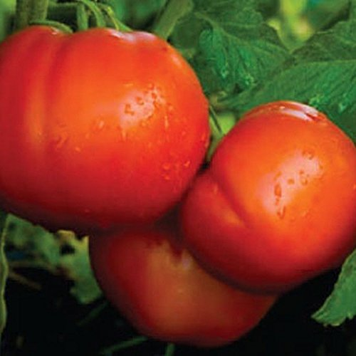 Celebrity Tomato - A Classic!! All time Favorite-Great Yields!!! (100 - - Celebrity Favorites
