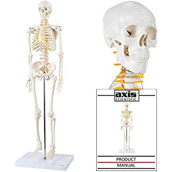 axis scientific mini human skeleton model with metal stand | 31 inches tall  with removable arms and legs is easy to assemble | includes detailed  product