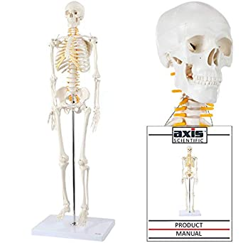Axis Scientific Mini Human Skeleton Model with Metal Stand - 31 Inches Tall  with Removable Arms and Legs, Easy to Assemble, Includes Detailed Product
