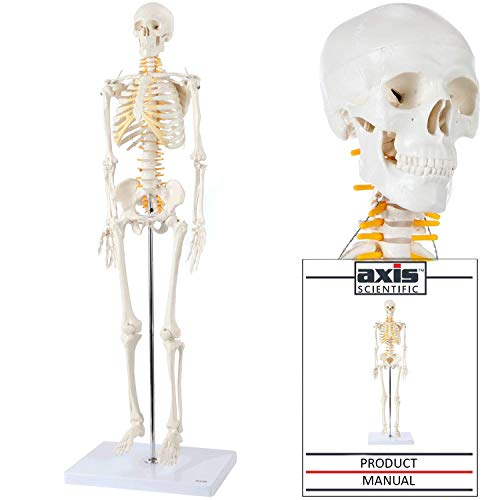 Axis Scientific Mini Human Skeleton Model with Metal Stand | 31 Inches Tall with Removable Arms and Legs is Easy to Assemble | Includes Detailed Product Manual for Study or Reference | 3 Year Warranty