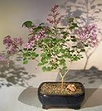 Flowering Dwarf Korean Lilac Bonsai Tree Bonsai 6 yr 12'' tall Outdoor