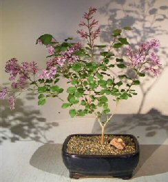 bonsai-boys-flowering-dwarf-korean-lilac-bonsai-tree-syringa-palabiniana